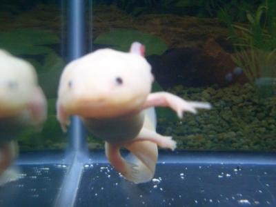 泳ぐウーパールーパー