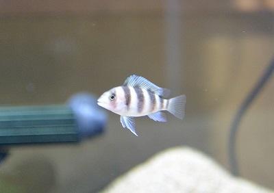 フロントーサの幼魚