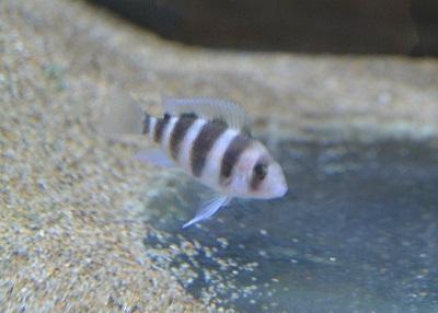 フロントーサ幼魚その後