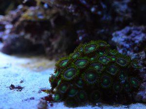 育成が容易なサンゴ