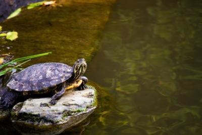 ため池の亀