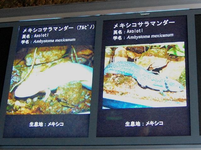 水族館の説明パネル(メキシコサラマンダー)