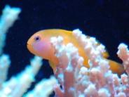 サンゴにたたずむキイロサンゴハゼ