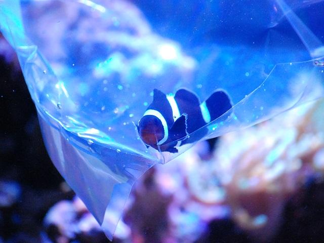 水温合わせ中のブラックオセラリス