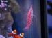 クダゴンベを見るカクレクマノミ達