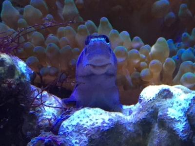 イソギンチャクに隠れるイシガキカエルウオ
