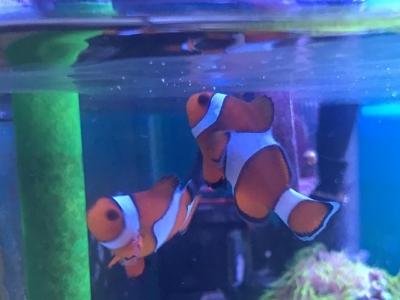 水面を見上げるカクレクマノミ