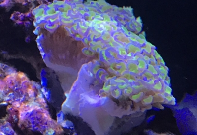ナガレハナサンゴのコロニータイプ