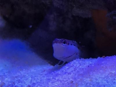 巣から顔を出すイシガキカエルウオ