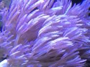 シロスジウミアザミのポリプ