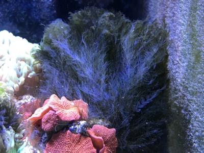 根本が白くなっている海藻