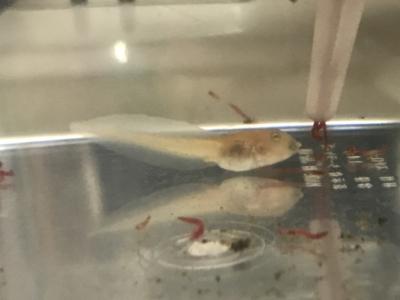 餌を食べるクランウェルツノガエルのオタマジャクシ