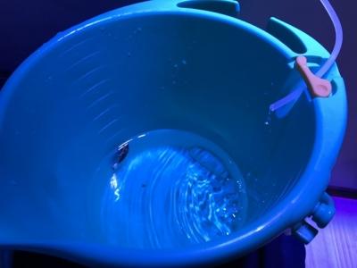 点滴式水合わせで水合わせ中の魚