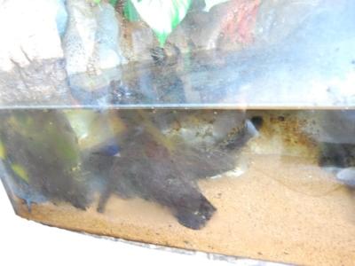 結露しているウーパールーパーの水槽(鳥羽水族館)