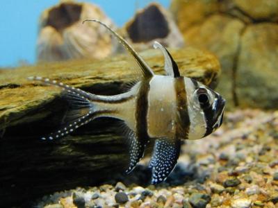 抱卵中のプテラポゴン・カウデルニィ