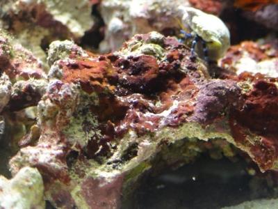 ライブロックの石灰藻
