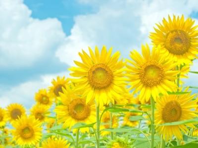 青空と黄色い向日葵