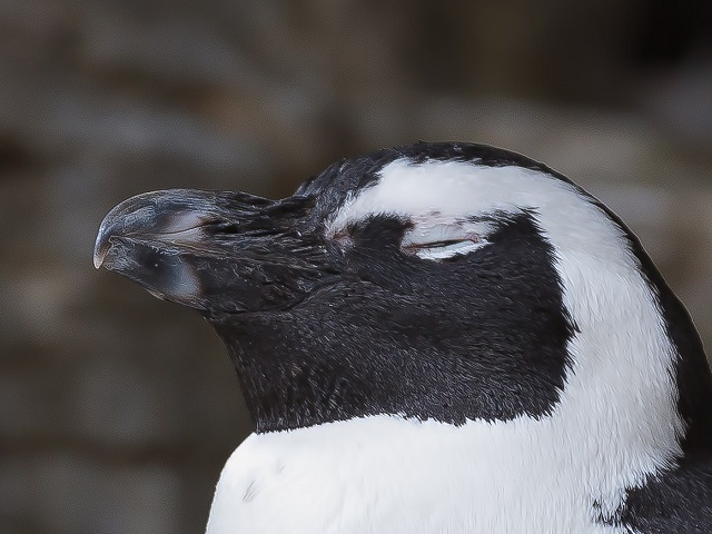 しかめっ面をしたペンギン