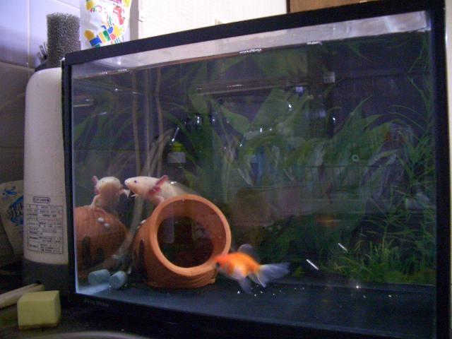 金魚水槽L