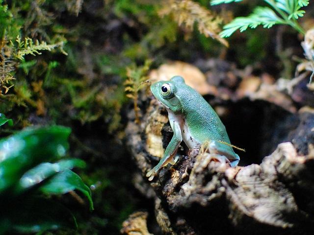 木の陰から上を見上げるシュレーゲルアオガエル