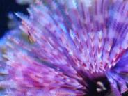 インドケヤリの鰓冠