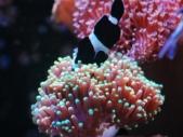 ハナサンゴにつっこむブラックオセラリス