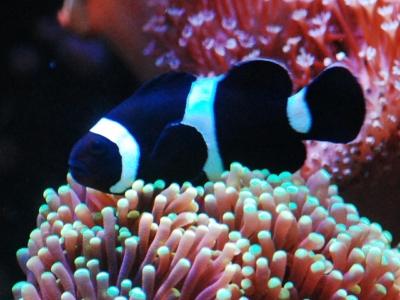 ハナサンゴに入るブラックオセラリス