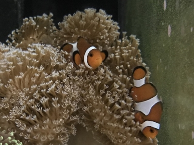 夜間のカクレクマノミとオオウミキノコ