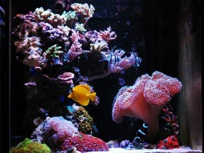 維持しているサンゴ水槽