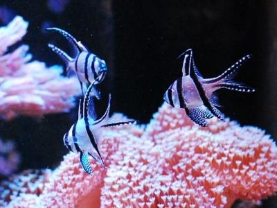 群れで泳ぐプテラポゴン・カウデルニィ