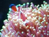 ハナサンゴに潜るカクレクマノミ