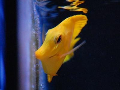 ガラス面に生えた藻を食べるキイロハギ