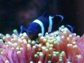 ハナサンゴとブラックオセラリス