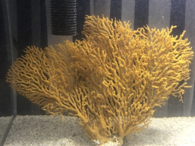 黄色のイソバナサンゴ