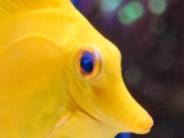 目が白化したキイロハギ