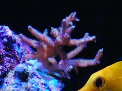 トゲサンゴ