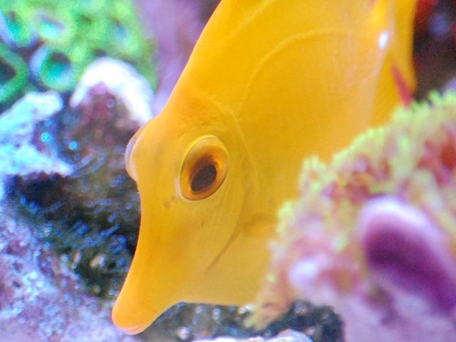 片目が白化したキイロハギの健康な方の目