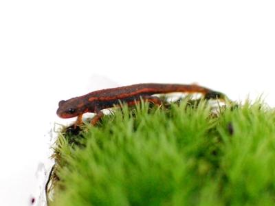 苔に隠れるシリケンイモリ
