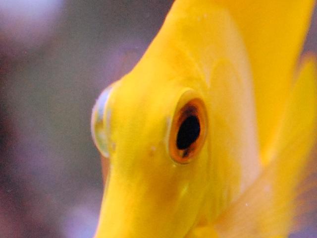 片目が白濁してしまったキイロハギの目