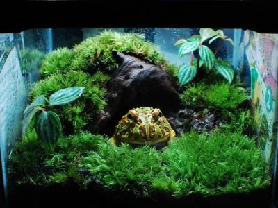 巣穴からこちらを見るベルツノガエル