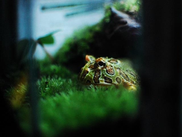 苔とベルツノガエル