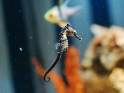 水槽で泳ぐタツノオトシゴ