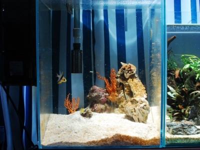 タツノオトシゴと共生ハゼを飼っている水槽