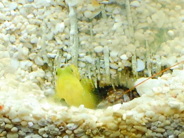 巣穴から顔を出すギンガハゼとニシキテッポウエビ