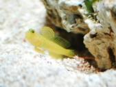 ギンガハゼと巣を整備するニシキテッポウエビ