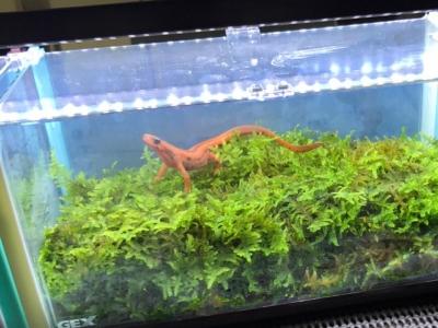 ぶりくら2017、尻剣矢で展示されていた赤みが強いシリケンイモリ