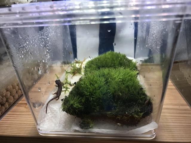 シリケンイモリを飼育している環境