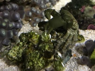 岩についたコケを食べるエメラルドグリーンクラブ