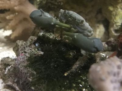 緑色の硬い海藻を食べるエメラルドグリーンクラブ