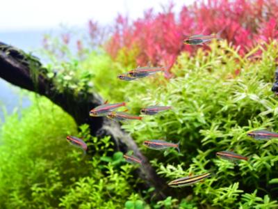 水草レイアウトに泳ぐグローライトテトラ
